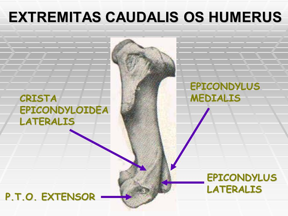 EXTREMITAS CAUDALIS OS HUMERUS EPICONDYLUS MEDIALIS EPICONDYLUS LATERALIS CRISTA EPICONDYLOIDEA LATERALIS P.T.O. EXTENSOR
