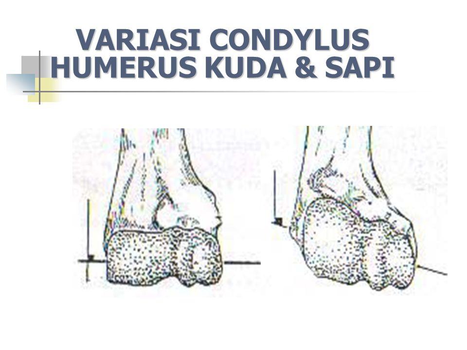VARIASI CONDYLUS HUMERUS KUDA & SAPI