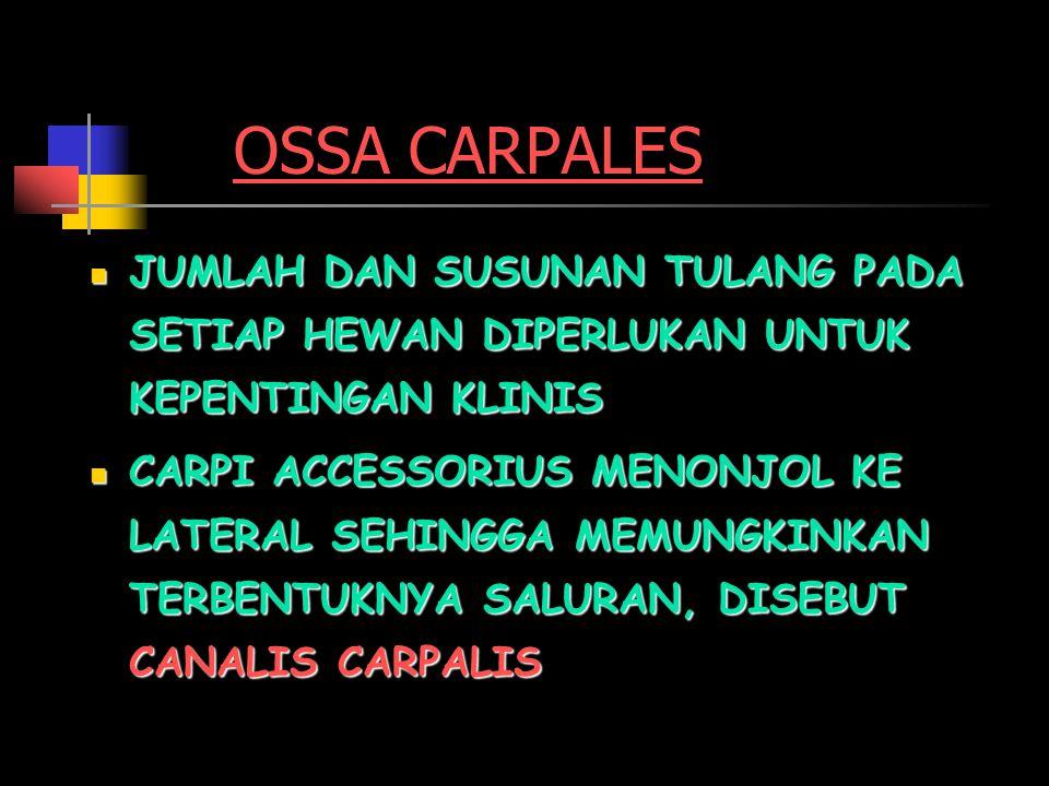OSSA METACARPAL FACIES ARTICULARIS CORPUS MC TROCHLEA MC IV III II