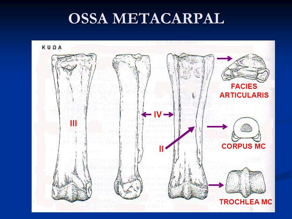 OSSA METACARPAL IIIIV SLD SLV V INCISSURA INTERTROCHLEARIS