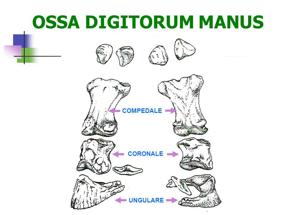 OSSA DIGITORUM MANUS COMPEDALE CORONALE UNGULARE