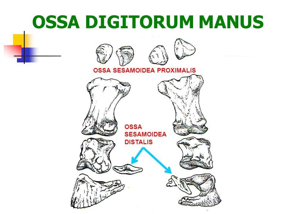OSSA DIGITORUM MANUS OSSA SESAMOIDEA PROXIMALIS OSSA SESAMOIDEA DISTALIS