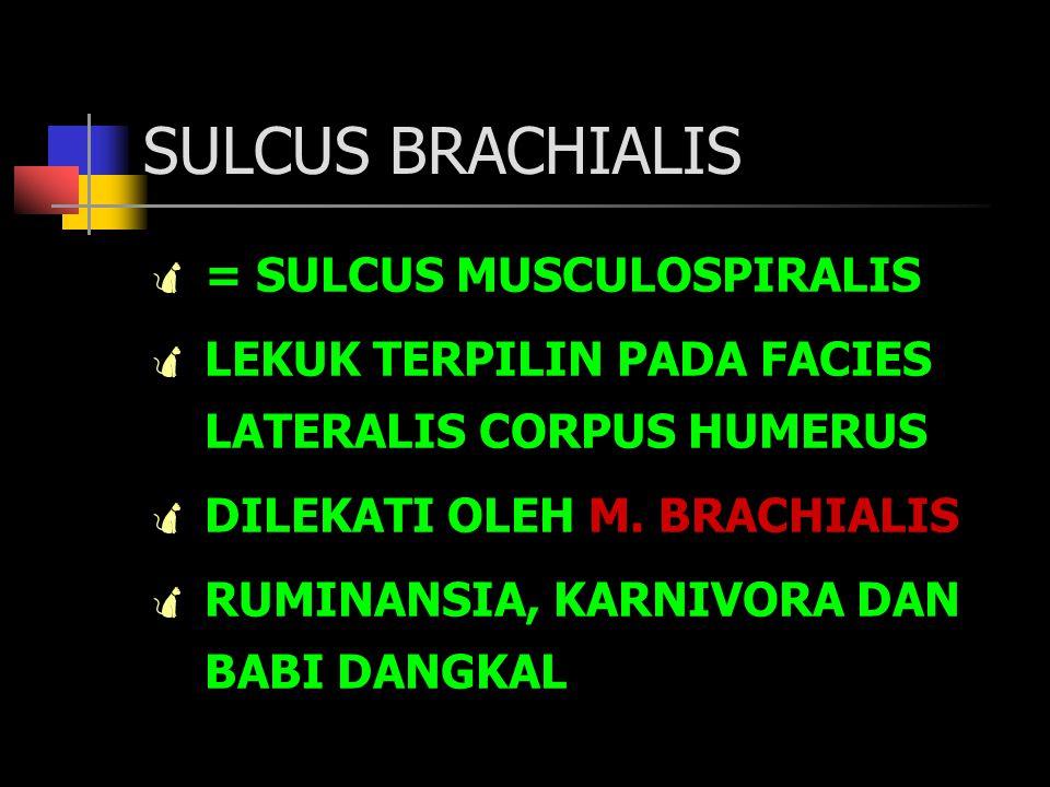 SULCUS BRACHIALIS  = SULCUS MUSCULOSPIRALIS  LEKUK TERPILIN PADA FACIES LATERALIS CORPUS HUMERUS  DILEKATI OLEH M. BRACHIALIS  RUMINANSIA, KARNIVO