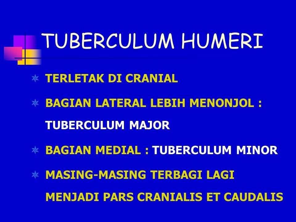 TUBERCULUM HUMERI  TERLETAK DI CRANIAL  BAGIAN LATERAL LEBIH MENONJOL : TUBERCULUM MAJOR  BAGIAN MEDIAL : TUBERCULUM MINOR  MASING-MASING TERBAGI