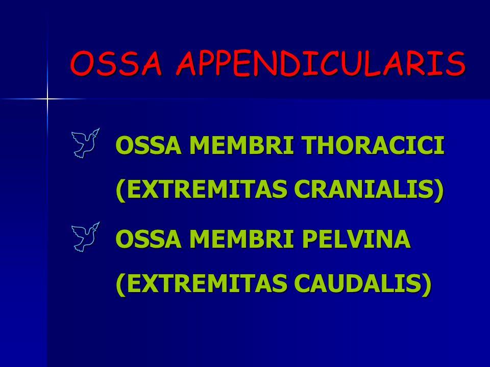 OSSA APPENDICULARIS OOOOSSA MEMBRI THORACICI (EXTREMITAS CRANIALIS) OOOOSSA MEMBRI PELVINA (EXTREMITAS CAUDALIS)