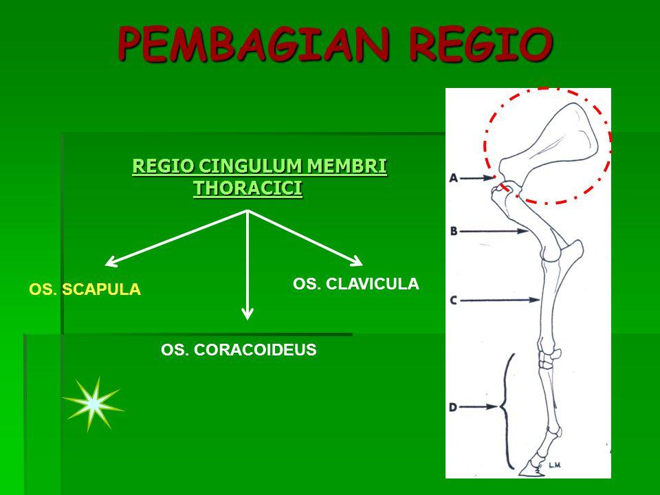 PEMBAGIAN REGIO REGIO CINGULUM MEMBRI THORACICI REGIO CINGULUM MEMBRI THORACICI OS. SCAPULA OS. CORACOIDEUS OS. CLAVICULA