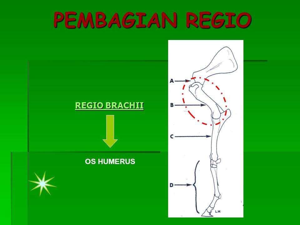 PEMBAGIAN REGIO REGIO BRACHII REGIO BRACHII OS HUMERUS