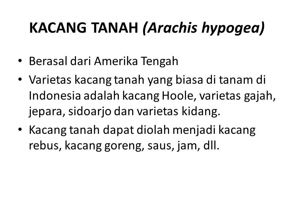 KACANG TANAH (Arachis hypogea) Berasal dari Amerika Tengah Varietas kacang tanah yang biasa di tanam di Indonesia adalah kacang Hoole, varietas gajah,