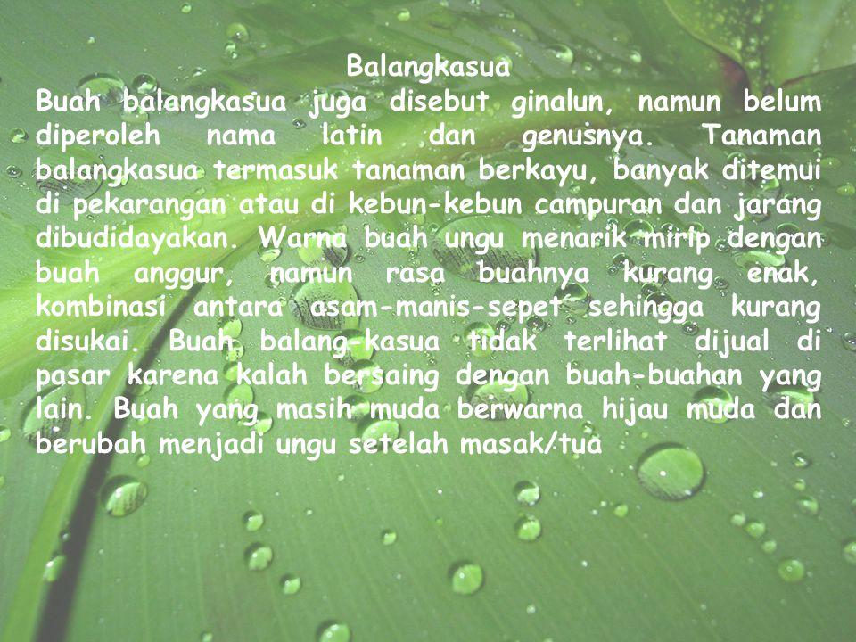 Balangkasua Buah balangkasua juga disebut ginalun, namun belum diperoleh nama latin dan genusnya. Tanaman balangkasua termasuk tanaman berkayu, banyak