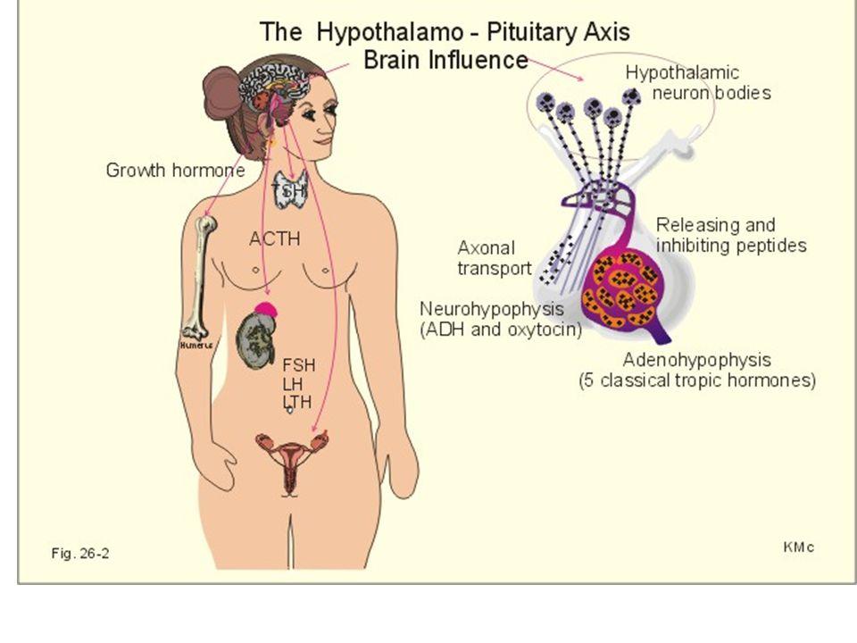 Human Chorionic Gonadotropin Mencegah terjadinya menstruasi Sekresi dari sel trofoblast sinsitium – di darah 8 ‑ 9 hari setelah ovulasi.