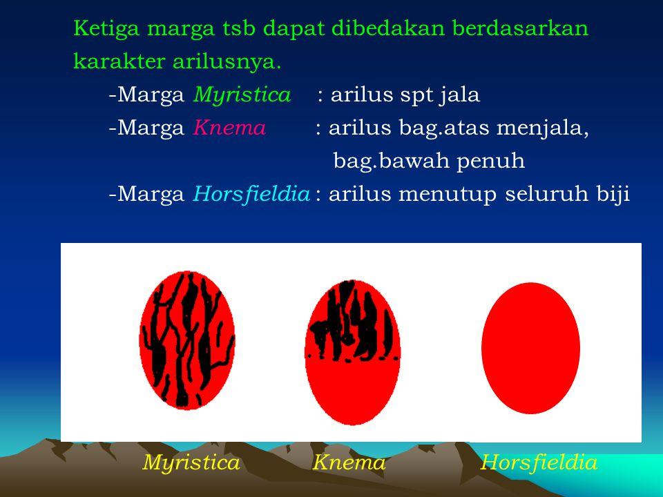 Ketiga marga tsb dapat dibedakan berdasarkan karakter arilusnya. -Marga Myristica : arilus spt jala -Marga Knema : arilus bag.atas menjala, bag.bawah