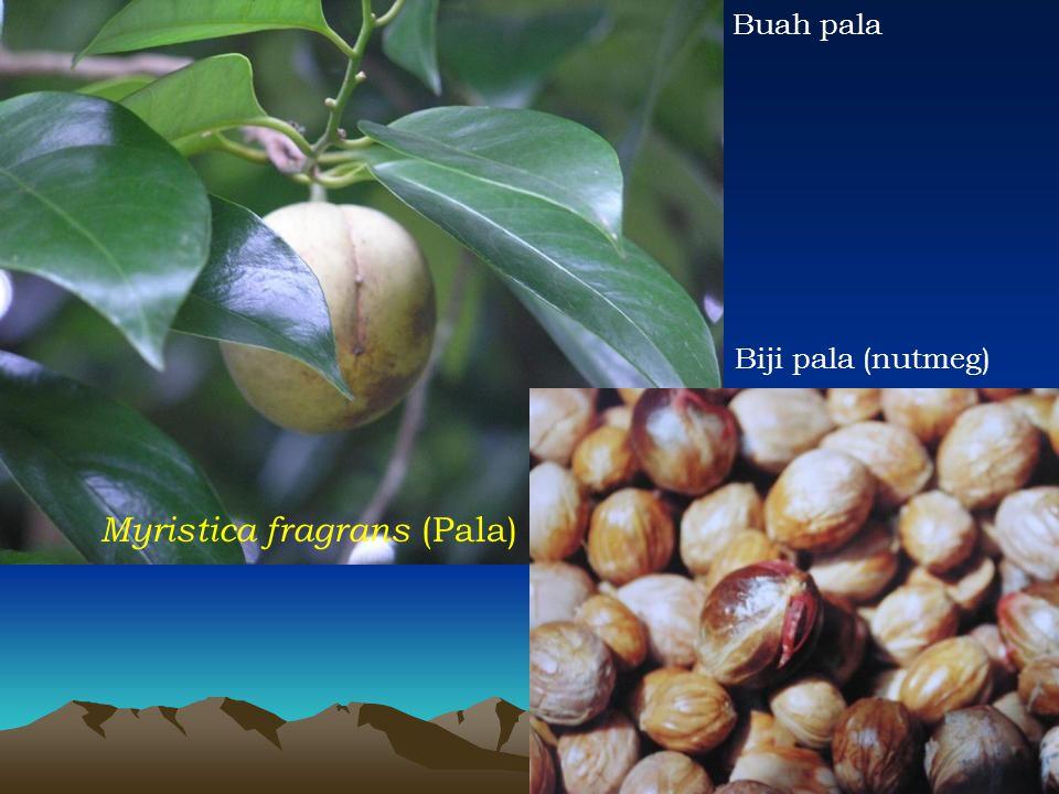 Myristica fragrans (Pala) Biji pala (nutmeg) Buah pala