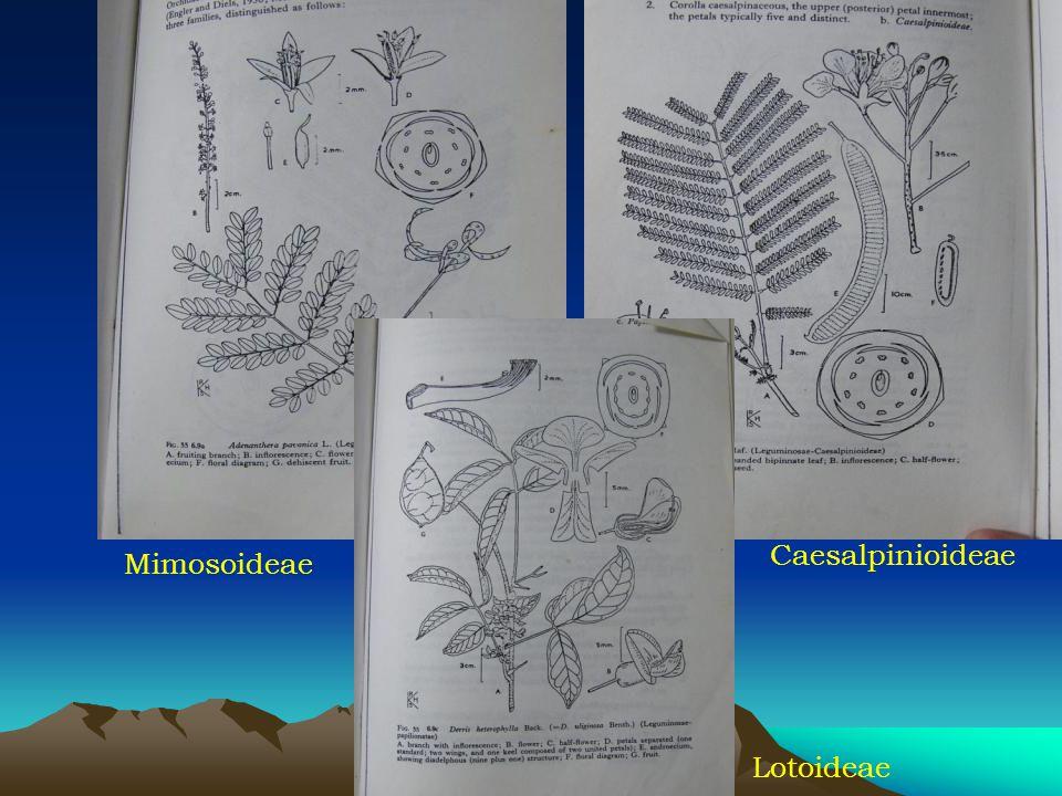 Mimosoideae Caesalpinioideae Lotoideae