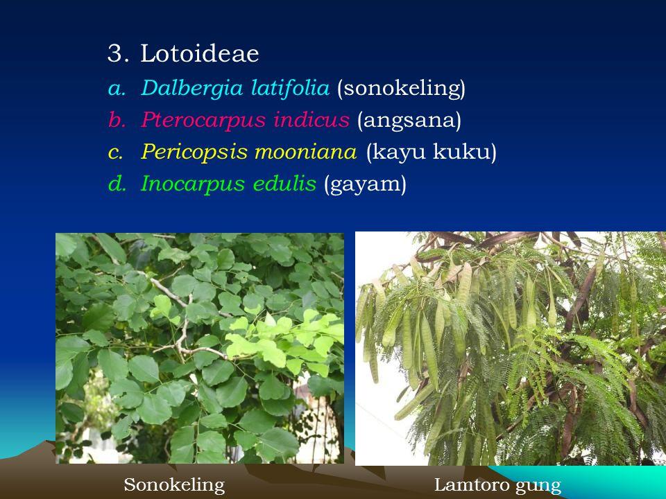 3.Lotoideae a.Dalbergia latifolia (sonokeling) b.Pterocarpus indicus (angsana) c.Pericopsis mooniana (kayu kuku) d.Inocarpus edulis (gayam) Sonokeling