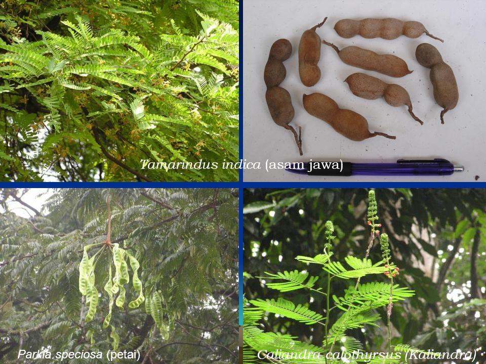 Tamarindus indica (asam jawa) Caliandra calothyrsus (Kaliandra) Parkia speciosa (petai)