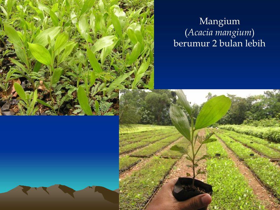 Mangium ( Acacia mangium ) berumur 2 bulan lebih