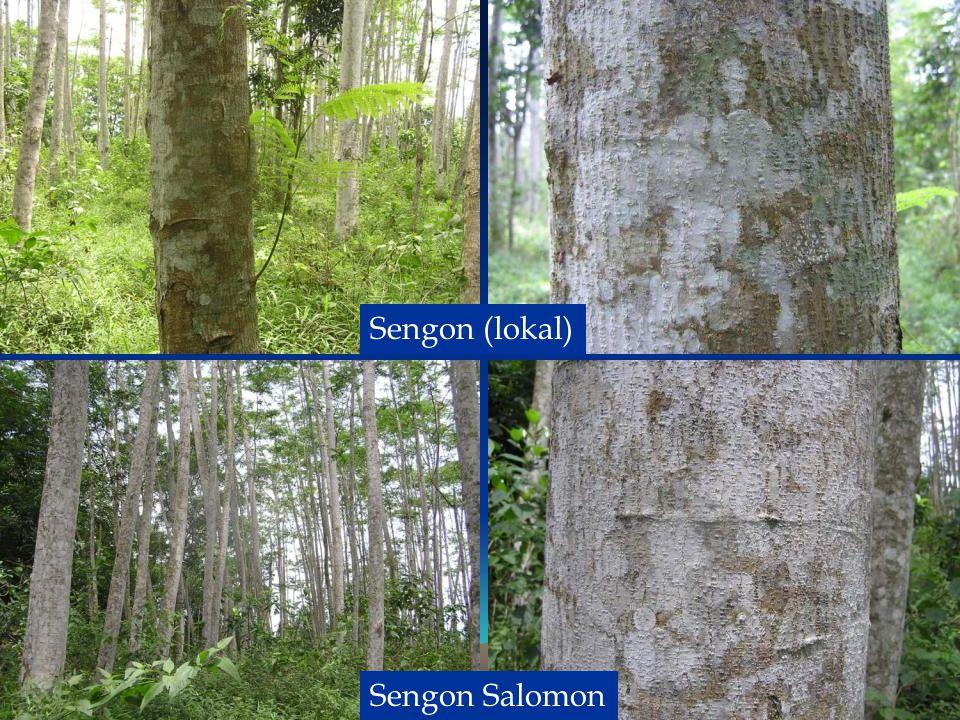 Sengon (lokal) Sengon Salomon