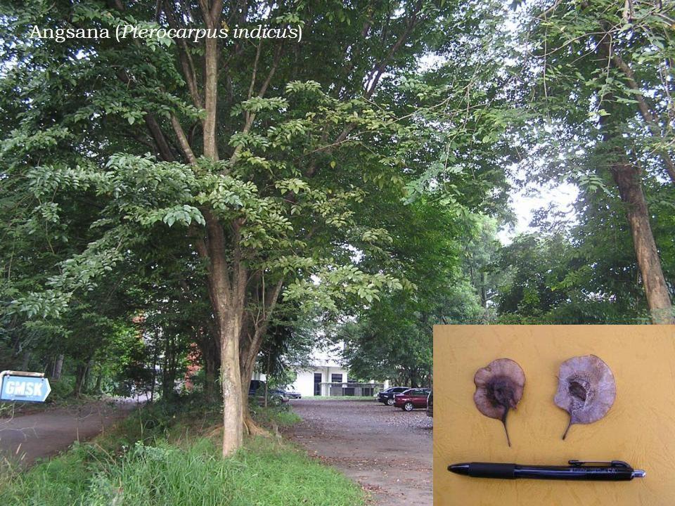 Angsana ( Pterocarpus indicus )