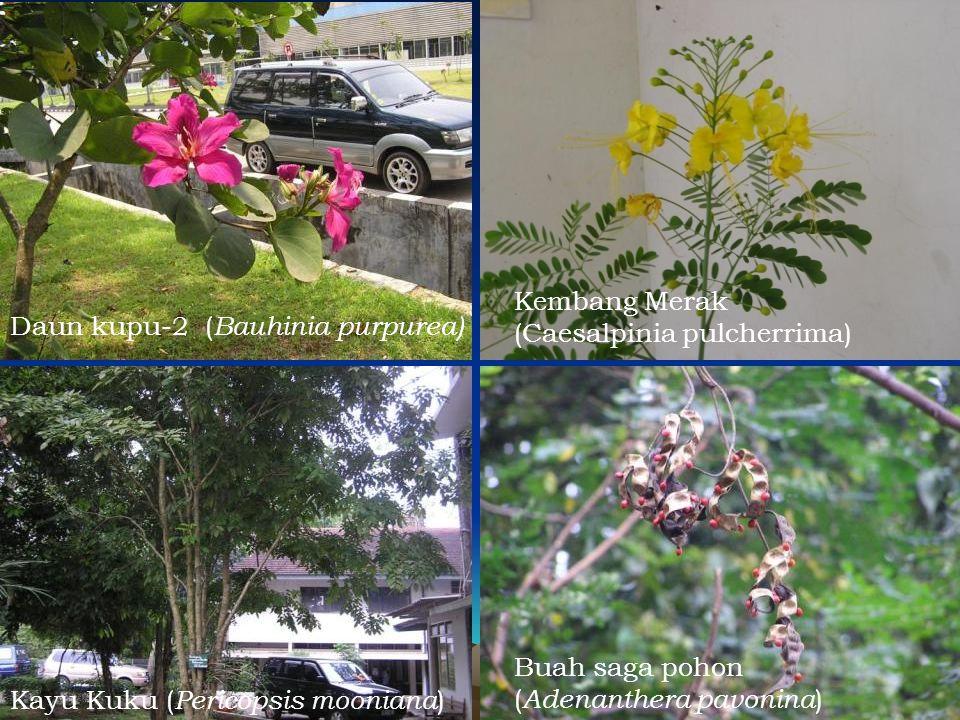 Daun kupu-2 ( Bauhinia purpurea) Kayu Kuku ( Pericopsis mooniana ) Buah saga pohon ( Adenanthera pavonina ) Kembang Merak (Caesalpinia pulcherrima)