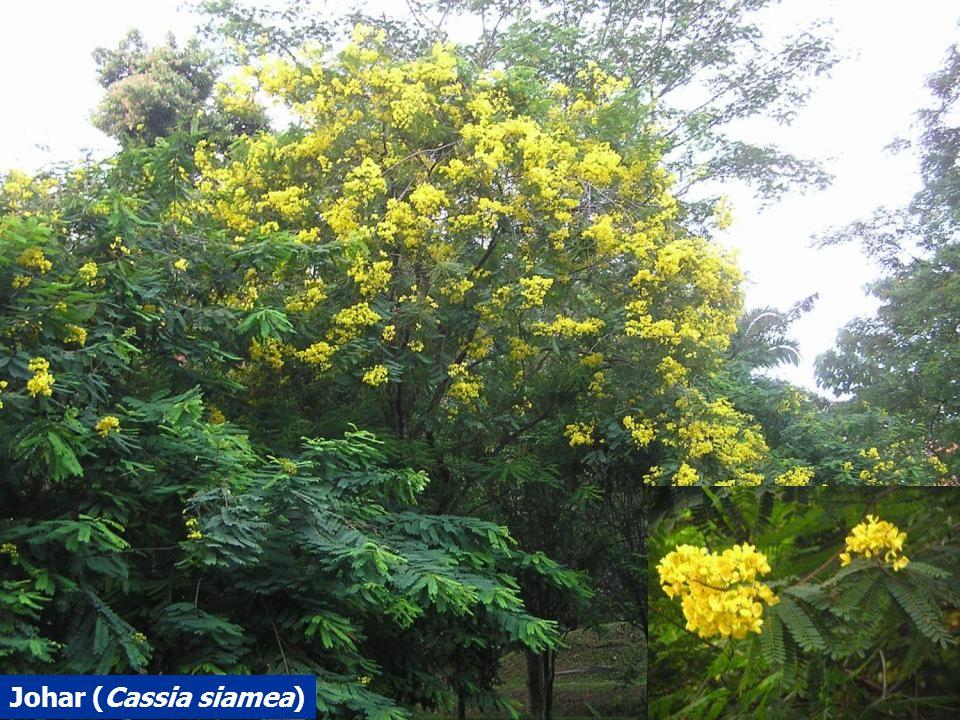 Johar (Cassia siamea)