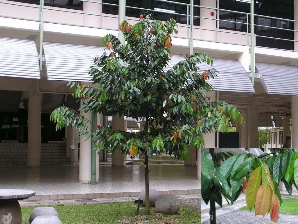 Annona muricata (sirsak) Annona squamosa (srikaya)