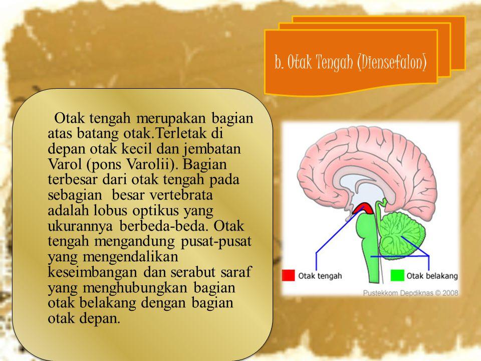 Otak tengah merupakan bagian atas batang otak.Terletak di depan otak kecil dan jembatan Varol (pons Varolii). Bagian terbesar dari otak tengah pada se