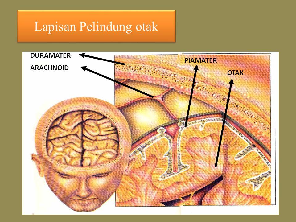 Lapisan Pelindung otak DURAMATER ARACHNOID PIAMATER OTAK