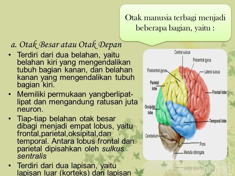 a. Otak Besar atau Otak Depan Terdiri dari dua belahan, yaitu belahan kiri yang mengendalikan tubuh bagian kanan, dan belahan kanan yang mengendalikan