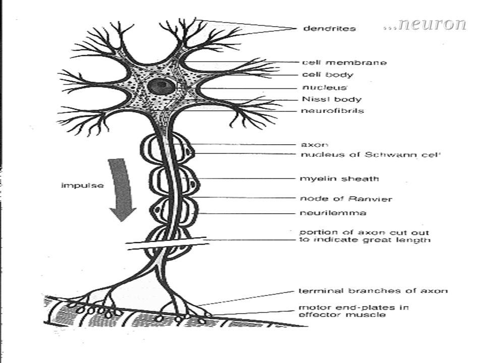 …neuron
