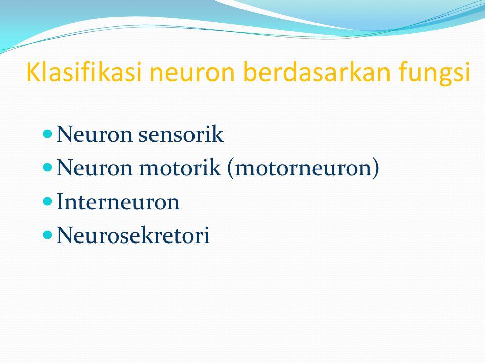 Klasifikasi neuron berdasarkan fungsi Neuron sensorik Neuron motorik (motorneuron) Interneuron Neurosekretori