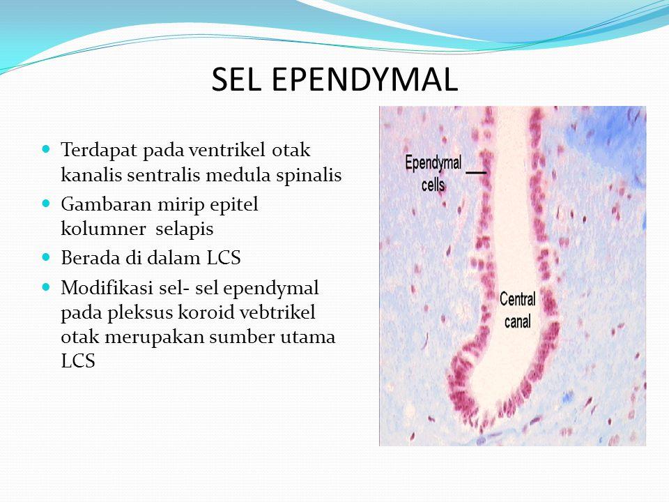 SEL EPENDYMAL Terdapat pada ventrikel otak kanalis sentralis medula spinalis Gambaran mirip epitel kolumner selapis Berada di dalam LCS Modifikasi sel