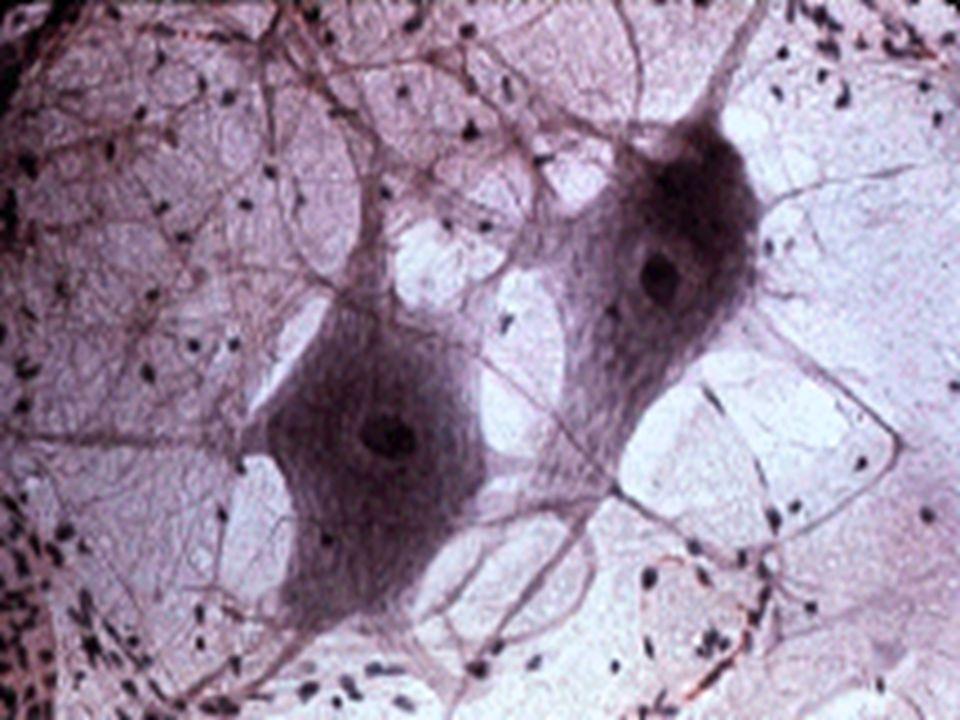 Astrosit Hanya ada pada SSP Neuroglia terbesar Pada SSP, astrosit melekat pada dinding kapiler dan neuron Ada 2 tipe : Astrosit protoplasmik Astrosit fibrosa Merupakan elemen pendukung paling penting pada SSP Memiliki processus yang panjang dan banyak