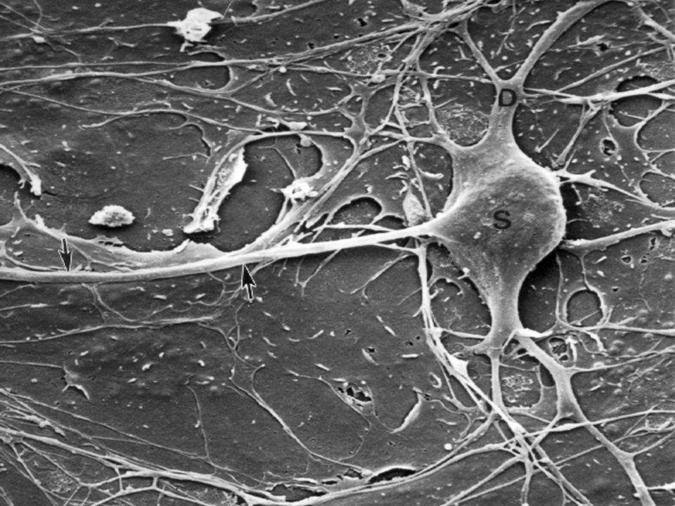 Substansia kelabu Pada medula spinalis : di tengah, bentuk kupu- kupu Pada serebellum dan serebrum : tersebar pada permukaan  korteks Tidak bermielin Korteks serebri  6 lapis Korteks serebelli  3 lapis (molekular, purkinje, granular)