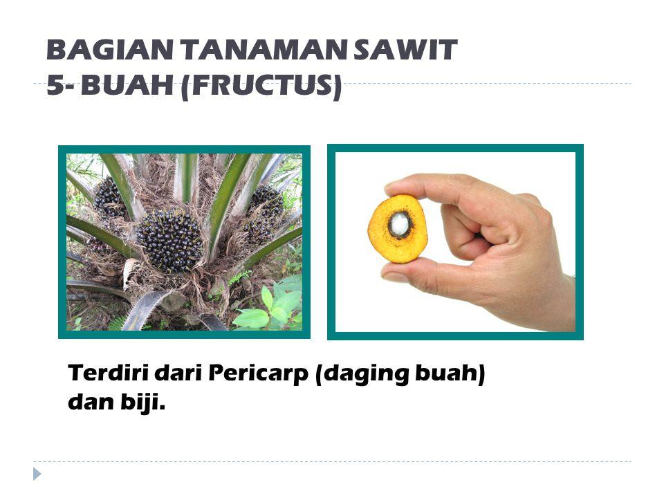 BAGIAN TANAMAN SAWIT 4- BUNGA (FLOS) Bunga jantan dan betina pada kelapa sawit terdapat pada satu pohon.