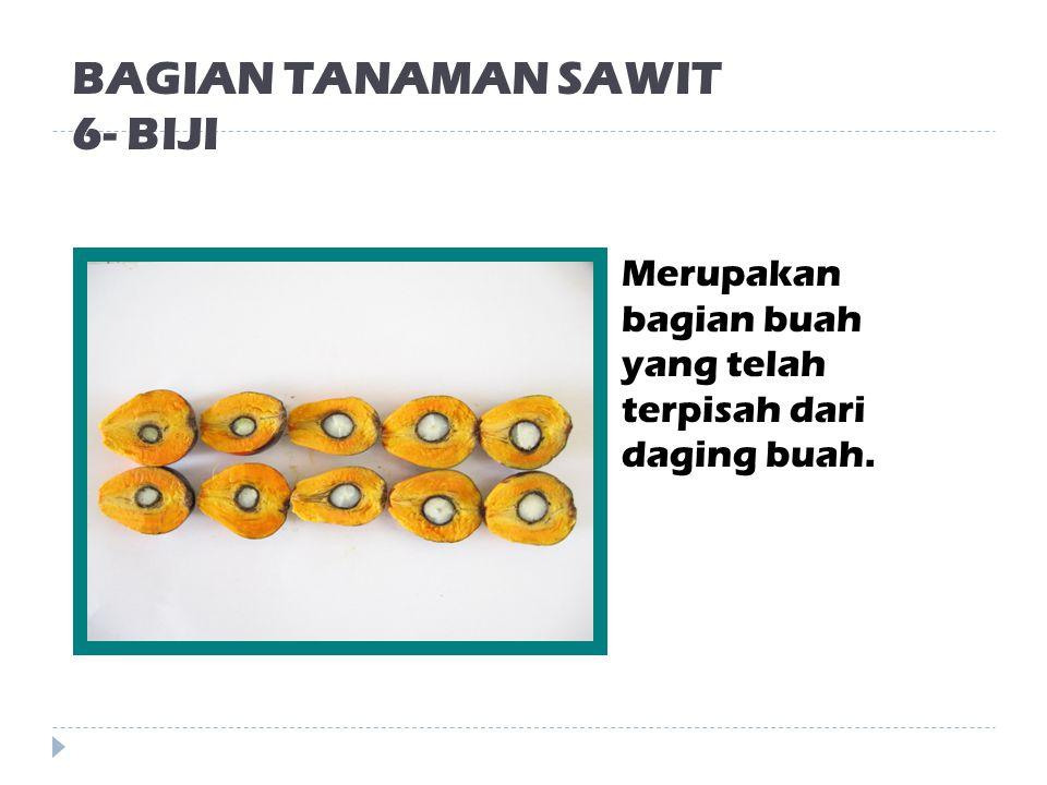 BAGIAN TANAMAN SAWIT 5- BUAH (FRUCTUS) Terdiri dari Pericarp (daging buah) dan biji.