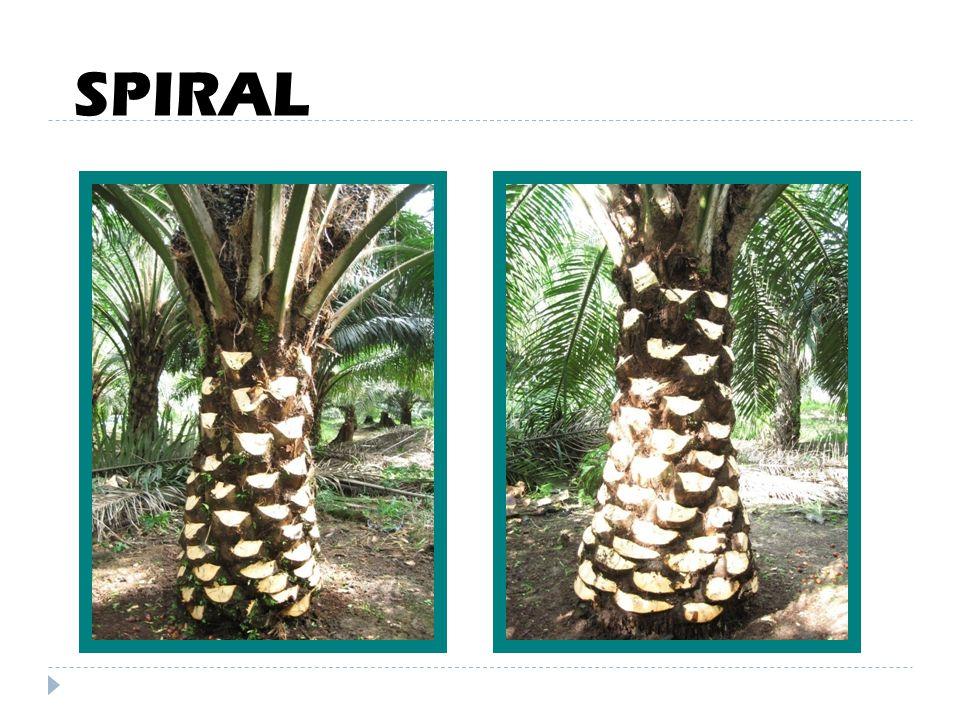 SPIRAL & DAUN  Sawit berlaku 1/8 spiral  Spiral kiri dan kanan  Spiral kanan > spiral kiri  Hitungan pelepah ke-9 / ke-17  Pengambilan sampel dau