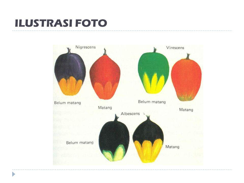 VARITAS KELAPA SAWIT BERDASARKAN WARNA KULIT BUAH 1. Nigrescens: Buah muda berwarna violet sampai hitam dan menjadi merah kuning sesudah matang 2. Vir