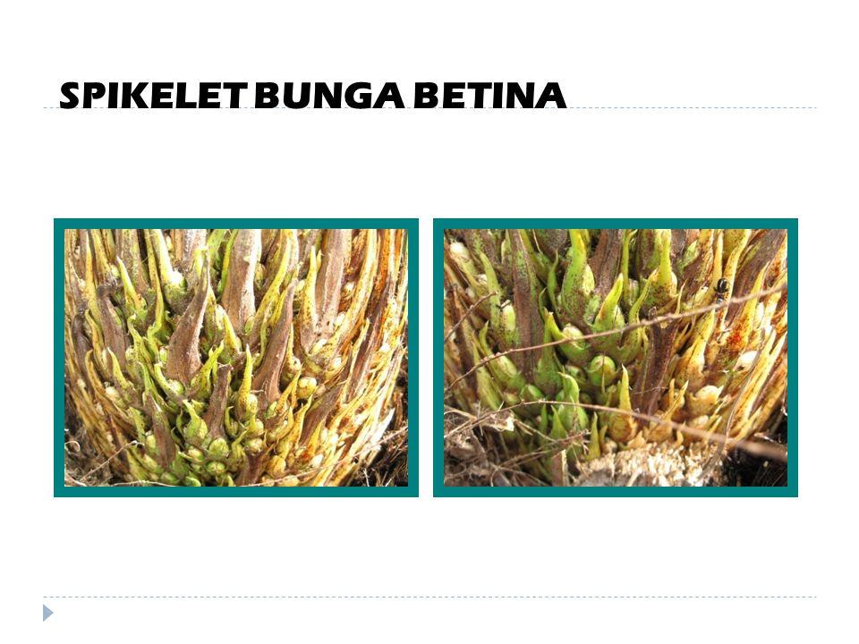 BUNGA BETINA  Tandan bunga betina dibungkus seludang bunga yang akan pecah 15 – 30 hari sebelum anthesis.  Satu tandan bunga betina punya 100–200 sp