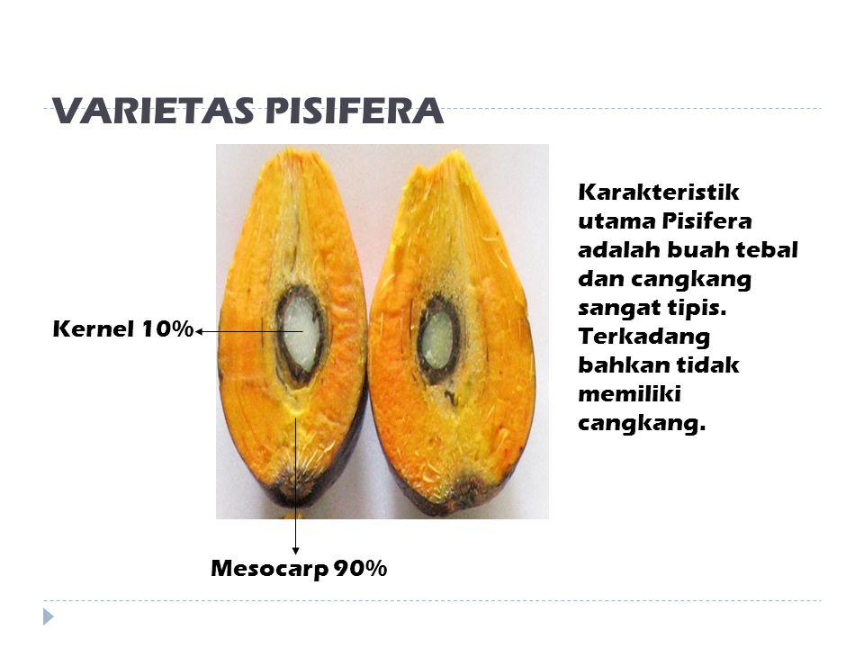 VARIETAS DURA Mesocarp 50% Shell 20% Kernel 30% Karakteristik utama Dura adalah daging buah tipis, cangkang tebal, dan kernel besar.