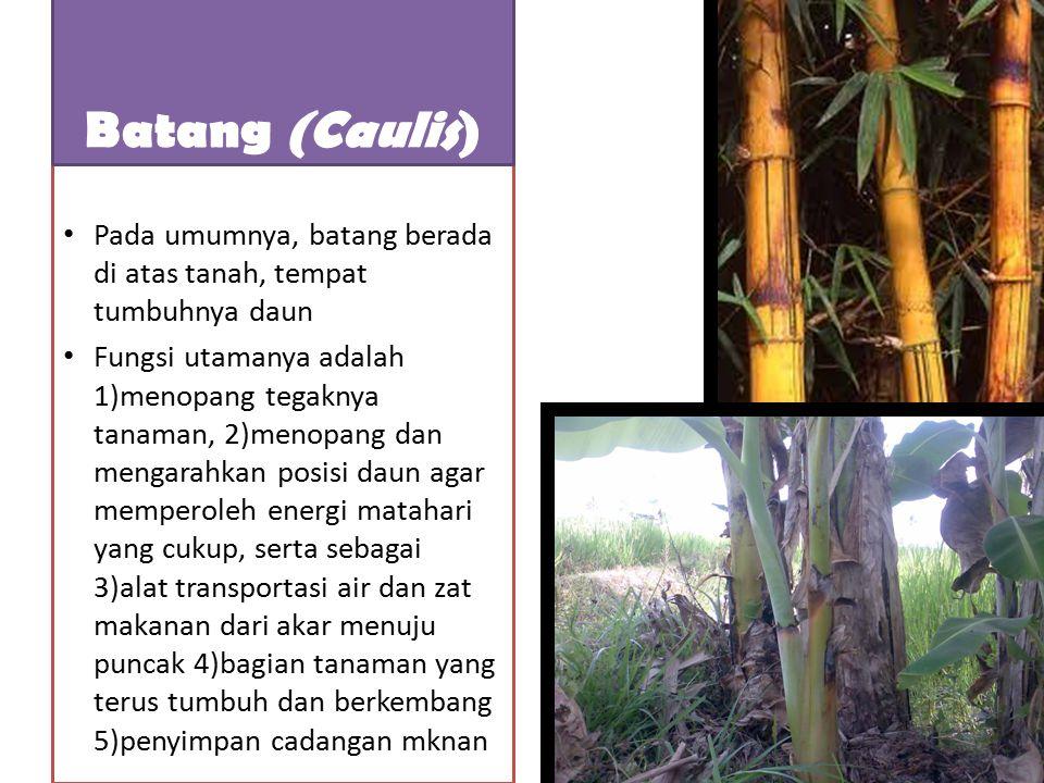 Pada umumnya, batang tumbuhan herba itu lunak, berwarna hijau, memiliki jaringan kayu yang sedikit atau tidak ada sama sekali, ukuran batangnya kecil, dan umurnya relatif pendek.