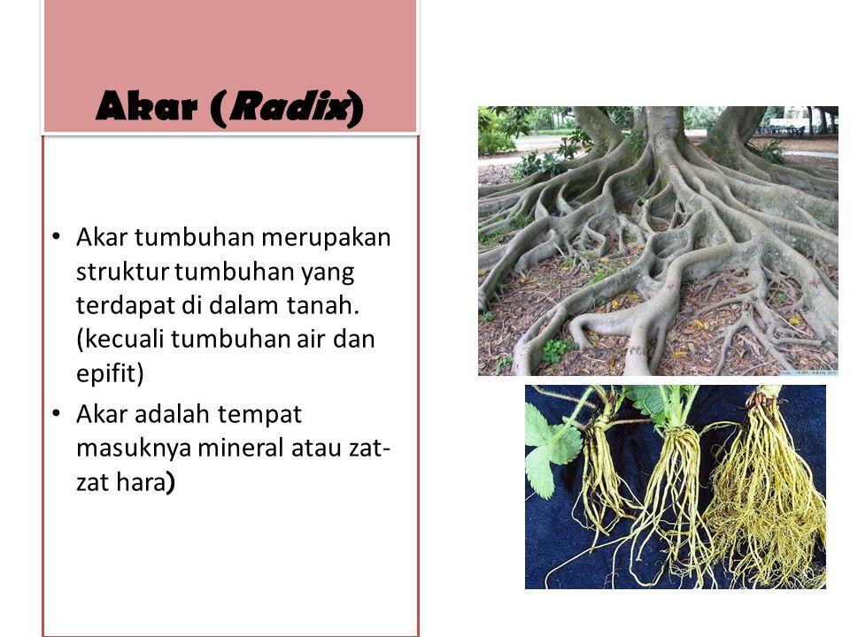 Fungsi lain akar utk melekat dan menancap pd media padat, memegang tumbuhan agar berada diposisi yang tetap, penyokong bag pucuk, penyimpan makanan, dan reproduksi vegetatif Akar (Radix)