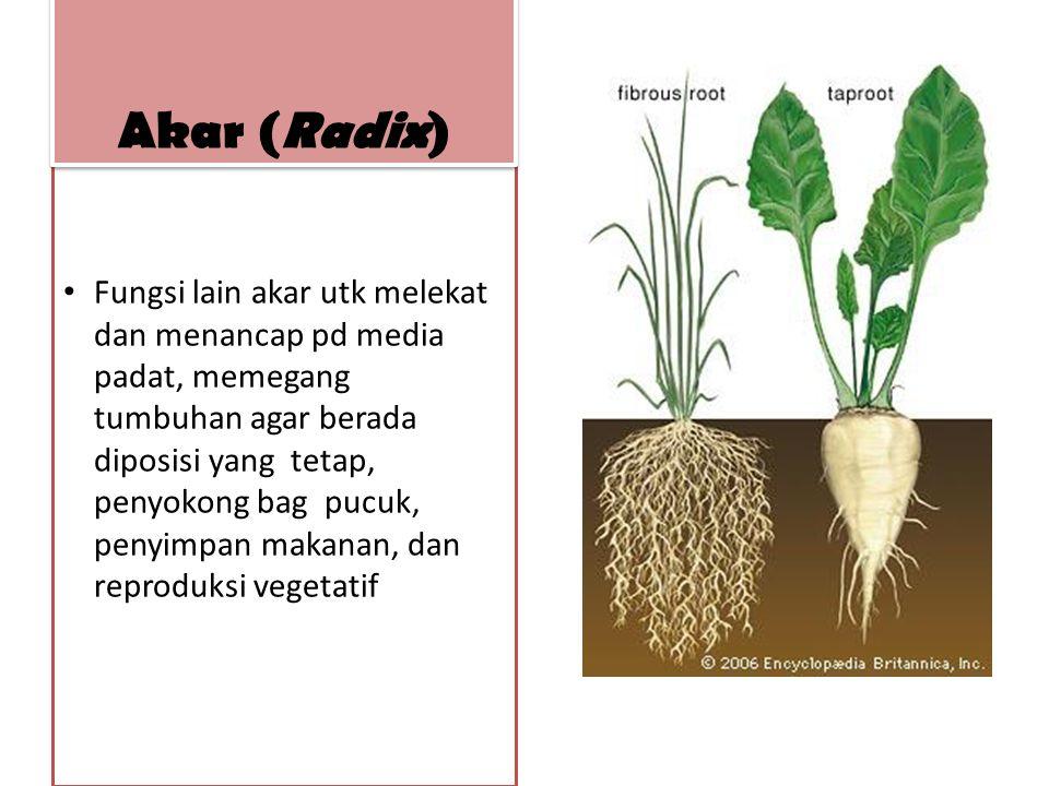 Fungsi lain akar utk melekat dan menancap pd media padat, memegang tumbuhan agar berada diposisi yang tetap, penyokong bag pucuk, penyimpan makanan, d