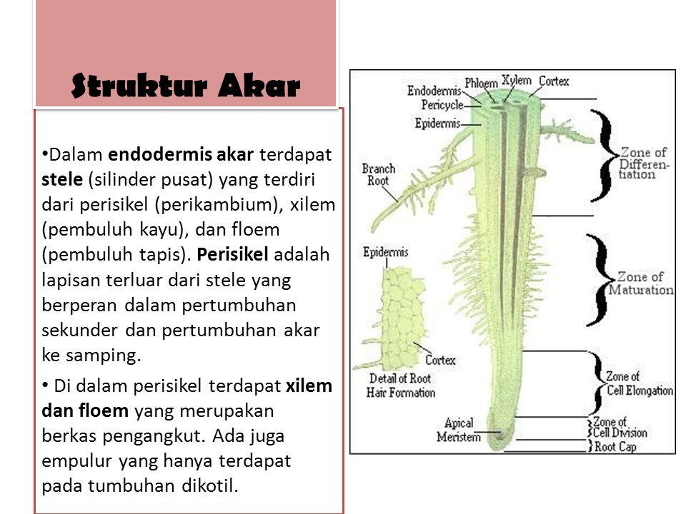 Dalam endodermis akar terdapat stele (silinder pusat) yang terdiri dari perisikel (perikambium), xilem (pembuluh kayu), dan floem (pembuluh tapis). Pe