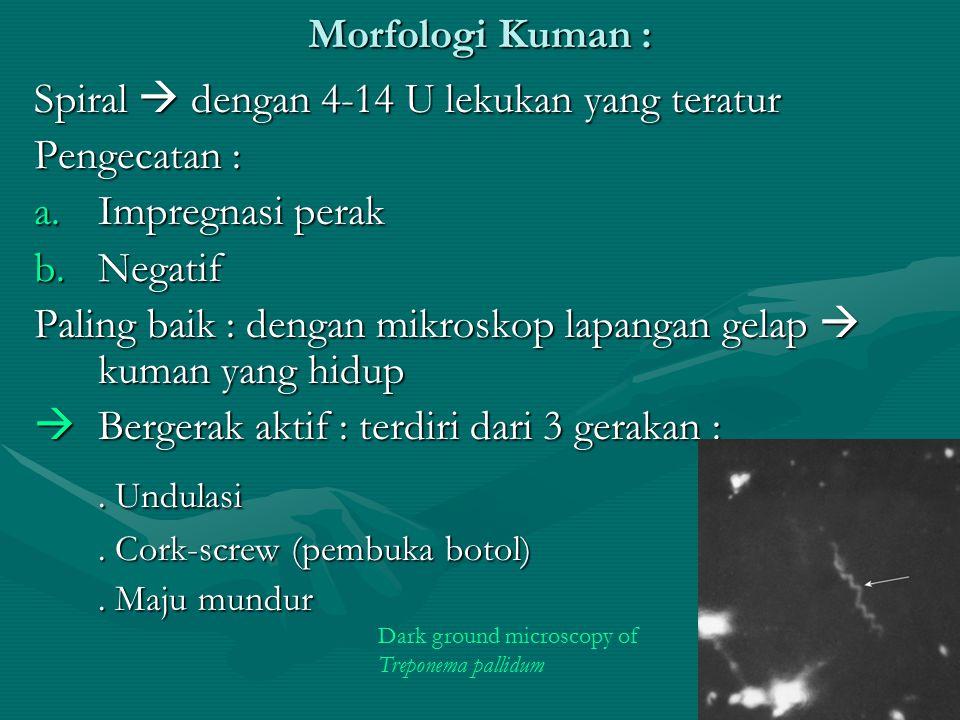 Morfologi Kuman : Spiral  dengan 4-14 U lekukan yang teratur Pengecatan : a.Impregnasi perak b.Negatif Paling baik : dengan mikroskop lapangan gelap