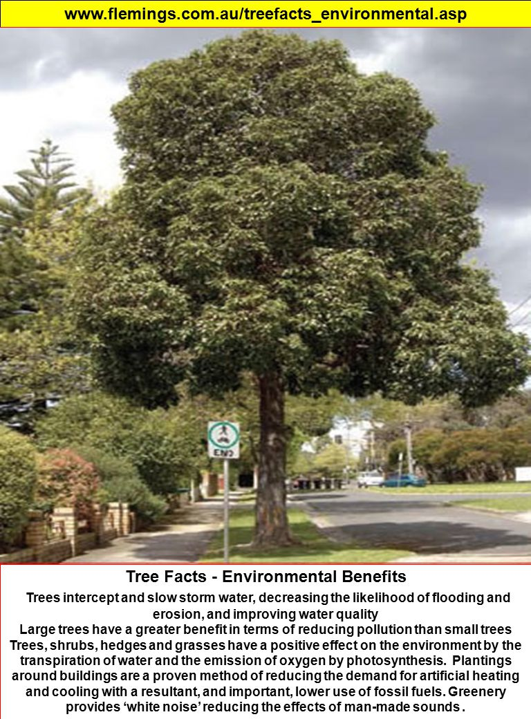 www.flemings.com.au/treefacts_environmental.asp Tree Facts - Environmental Benefits Trees intercept and slow storm water, decreasing the likelihood of flooding and erosion, and improving water quality Large trees have a greater benefit in terms of reducing pollution than small trees Trees, shrubs, hedges and grasses have a positive effect on the environment by the transpiration of water and the emission of oxygen by photosynthesis.