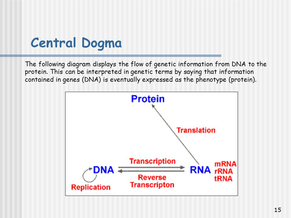 15 The following diagram displays the flow of genetic information from DNA to the protein.