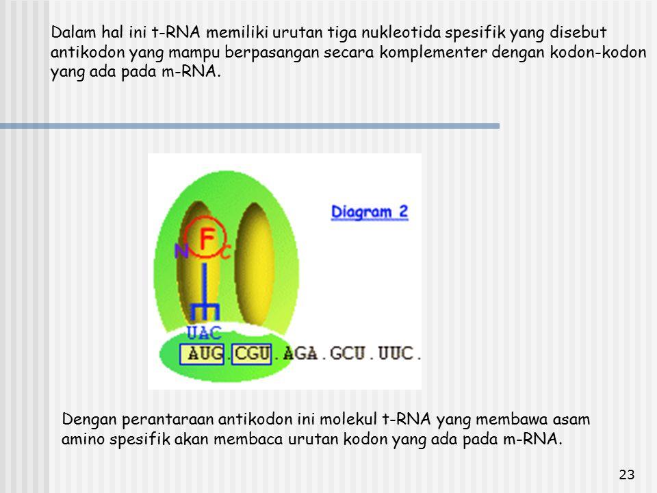 23 Dalam hal ini t-RNA memiliki urutan tiga nukleotida spesifik yang disebut antikodon yang mampu berpasangan secara komplementer dengan kodon-kodon y