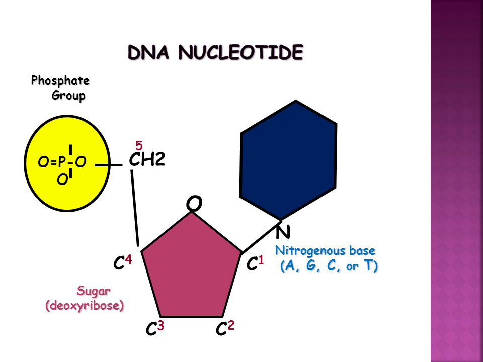 O=P-O OPhosphate Group Group N Nitrogenous base ( A, G, C, or T ) ( A, G, C, or T ) CH2 O C1C1 C4C4 C3C3 C2C2 5 Sugar Sugar(deoxyribose)