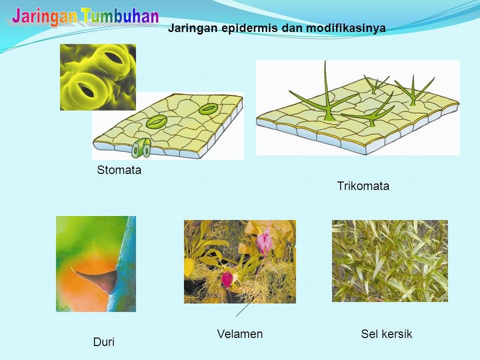 SEL KIPAS Terdapat pada epidermis atas daun tumbuhan famili Gramineae, misal jagung. Terdiri dari selapis sel yang lebih besar daripada sel epidermis