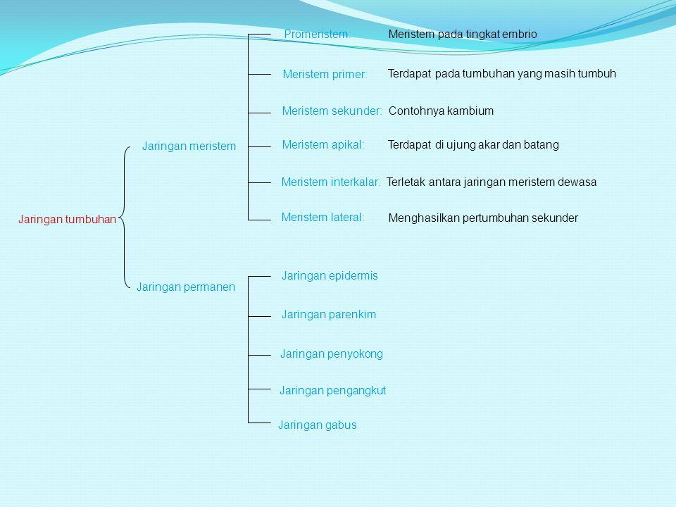 Floem dan xilem yang dipisahkan oleh kambium dinamakan tipe kolateral terbuka, kambium diantara kedua pembuluh tersebut dinamakan kambium vasikuler (tumbuhan dikotil) Pada tanaman monokotil, bertipe kolateral tertutup, tidak ada kambium diantara xilem dan floem.